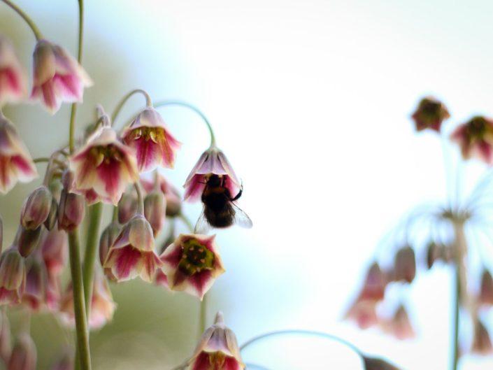 Allium bulgaricum and bumblebee