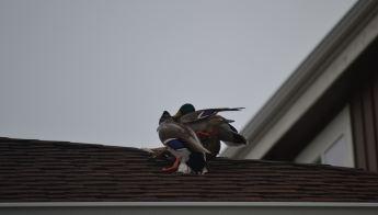 Birds on hotel roof in Kennewick