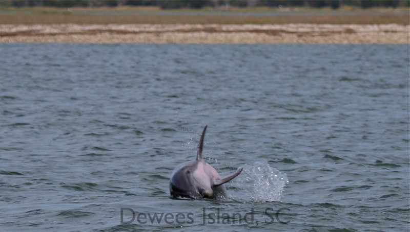 what to do on Dewees: watch dolphins