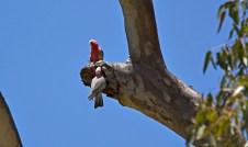 Galah's Nesting