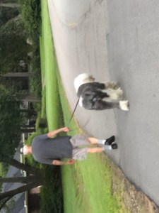 Old English sheepdog, Judythe Morgan, man walking his dog