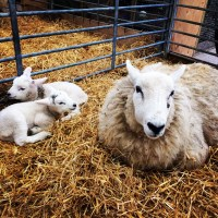 Lambing in East Sussex: The Best Places to Visit in Spring 2018