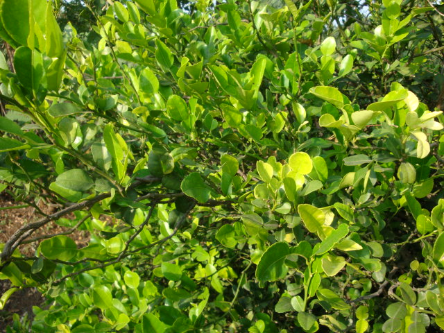 Kaffir Lime Leaves exotic flavor (1/2)