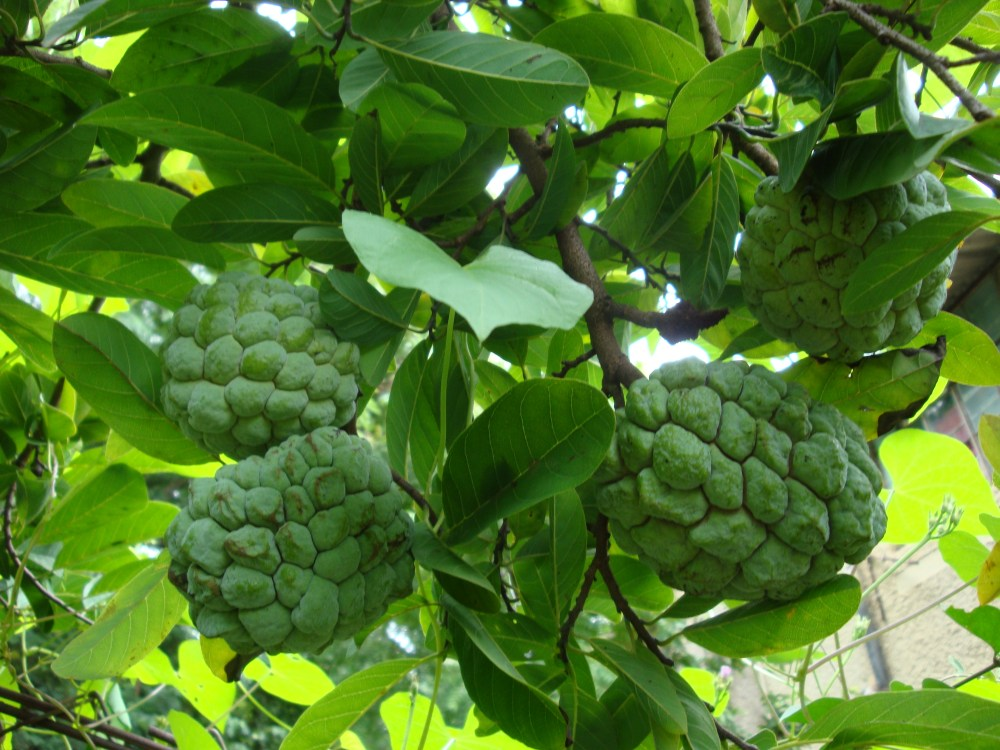 Did you know Custard apples have health benefits too?  (1/2)