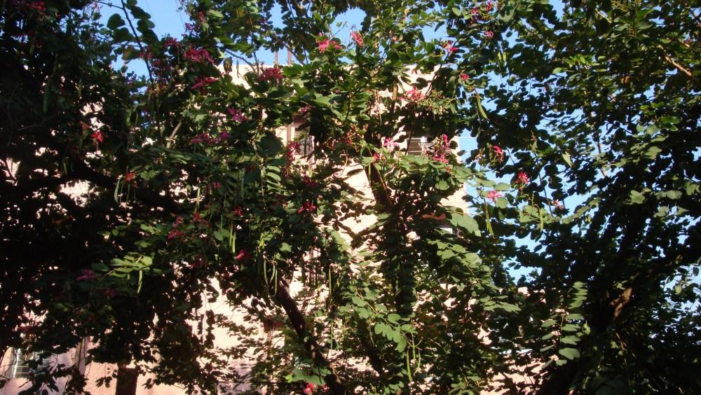 The beautiful Kachnar Tree (3/3)