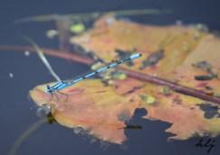 Oka park dragonfly