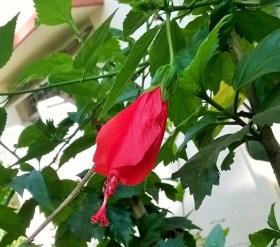 solitude hibiscus flower