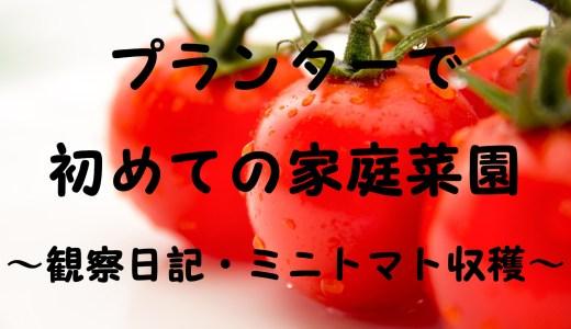 プランターで初めての家庭菜園~観察日記・ミニトマト収穫~