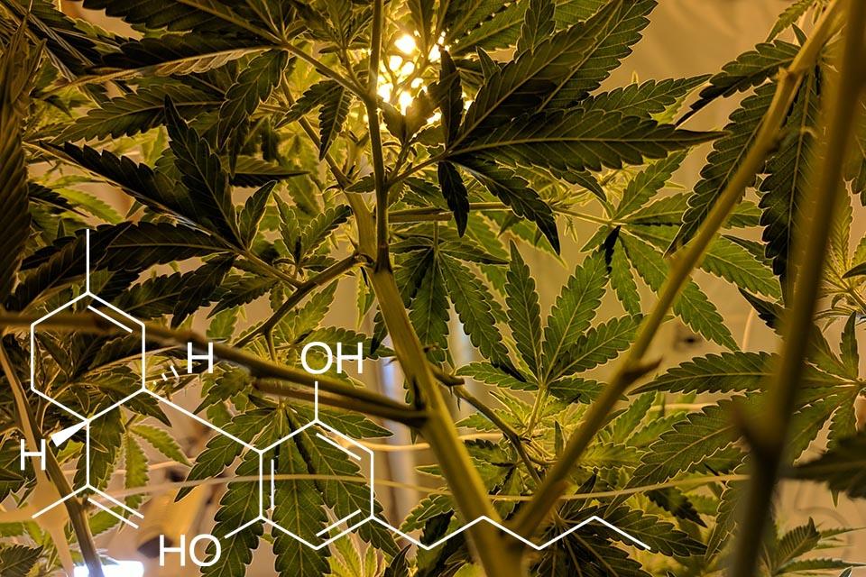 Endocannabinoid System - Julian Marley JuJu Royal