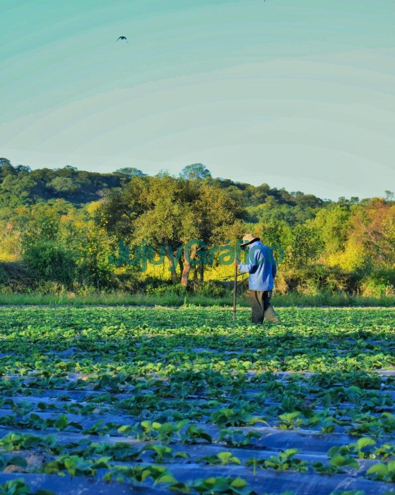 Jujuy es la cuarta provincia productora de frutilla 4