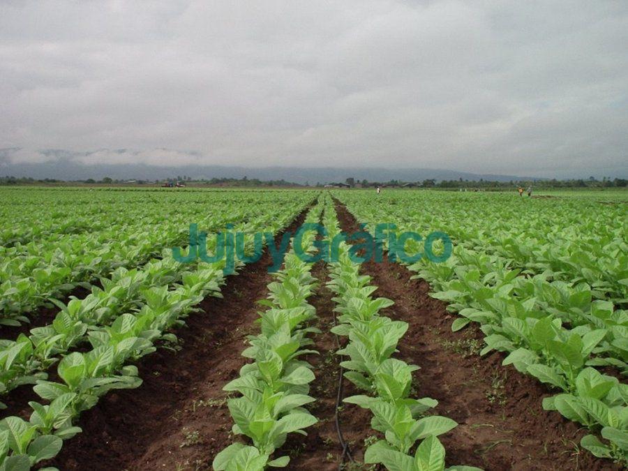 Jujuy logro destrabar 210 millones para tabacaleros