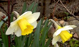 168 22nd Apr Rogue daffodils