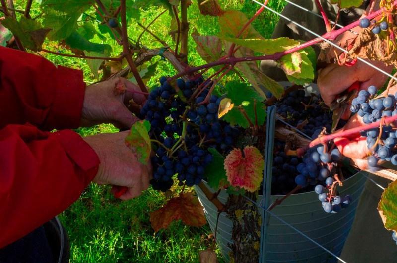 Oplevelses gaver til voksne, vin oplevelser, dansk vingård, vingår i danmark, oplevelses gaver til mormor, oplevelsesgaver til farmor, julegaver til vin elskeren, julegaver til hende, julegaver til ham