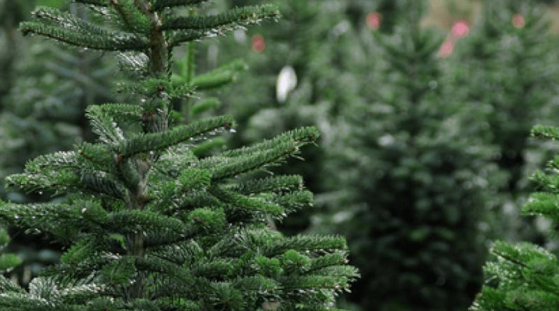 juletræet leveret til døren, juletræet, juletræet levering, levering af juletræ, få juletræet leveret, levering af juletræ