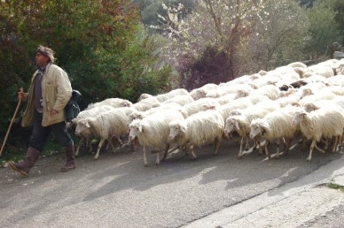 Sardionian shepherd and sheep