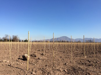 No vines in sight, as a new plantation cycle had been recently started