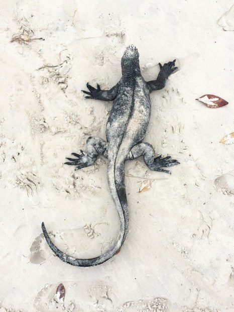Verne might have breaked the '2 meter rule' to snap this photo of a marine iguana