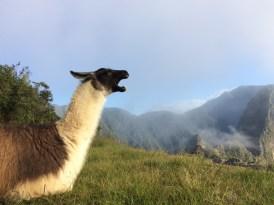 The guardians of Machu Picchu...
