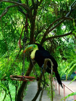 A wounded tucano recovers in the Jaguar Rescue Center