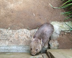 This wombat is a bundle of cuteness (they do tend to bite the more daring visitors though)