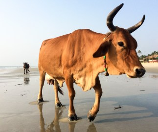 You'll also have to adjust to seeing cows strolling on the sand, next to you...