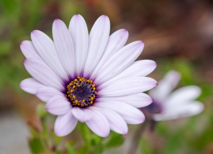 Cape daisy (116mm, f5.6, 1/300s, ISO 200)