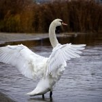Swan with wing spin