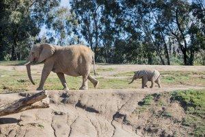 Elephants at the San Diego Zoo