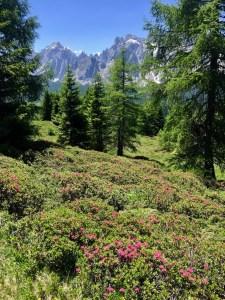 Alpenrosen mit Bergspitzen vor blauem Himmel