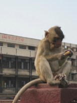Monkeys Run Wild in Lopburi, Thailand