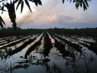 Newly Cultivated Sugar Cane at Sunset