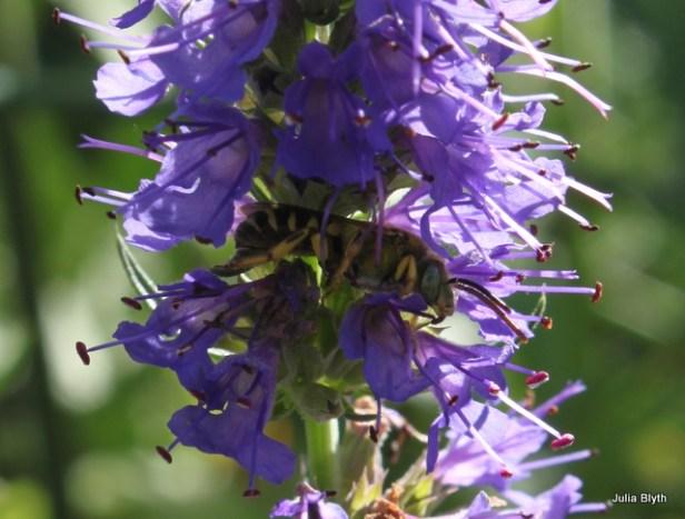 cuckoo bee(?) sleeping the hyssop