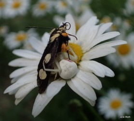 Crab spider with a moth