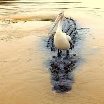 Darwin River - saltwater crocodile and pelican