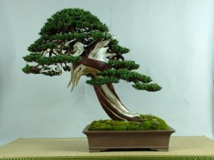 bonsai juniperus procumbens