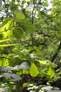 Kawakawa (Pepper Tree) Macropiper exelsum