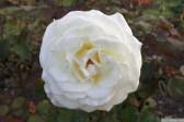 Parnell Rose Garden January 2013 002