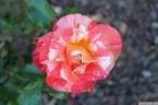 Parnell Rose Garden January 2013 016