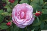 Parnell Rose Garden January 2013 027