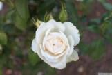 Parnell Rose Garden January 2013 040