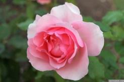 Parnell Rose Garden January 2013 043