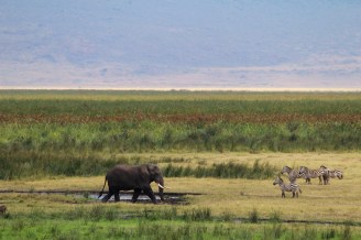 Elephant and Zebras-Ngorongoro