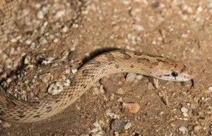 The Desert Glossy Snake