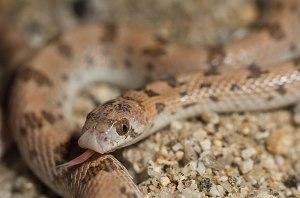 Spotted Leaf-nosed Snake