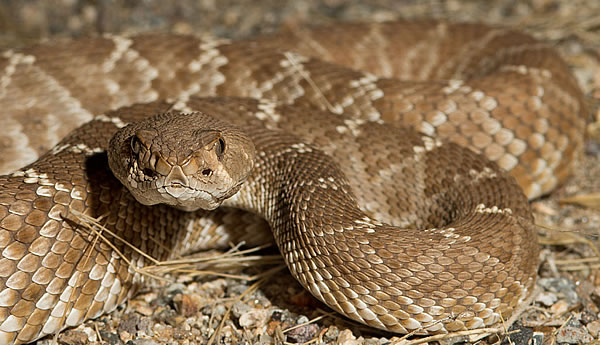 A Red Diamondback Rattlesnake