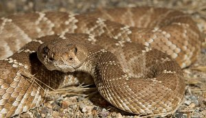 A Red Diamondback Rattlesnake