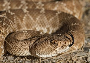 A Red Diamond Rattlesnake