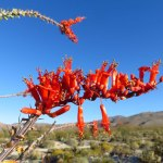 An ocotillo bloom