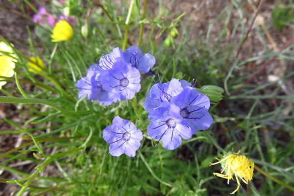 Blue Phacelia