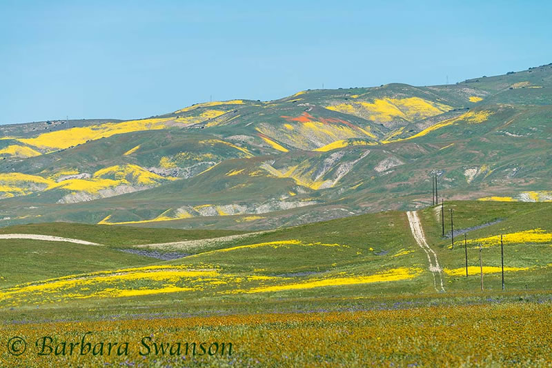 Distant poppies, Temblor Range